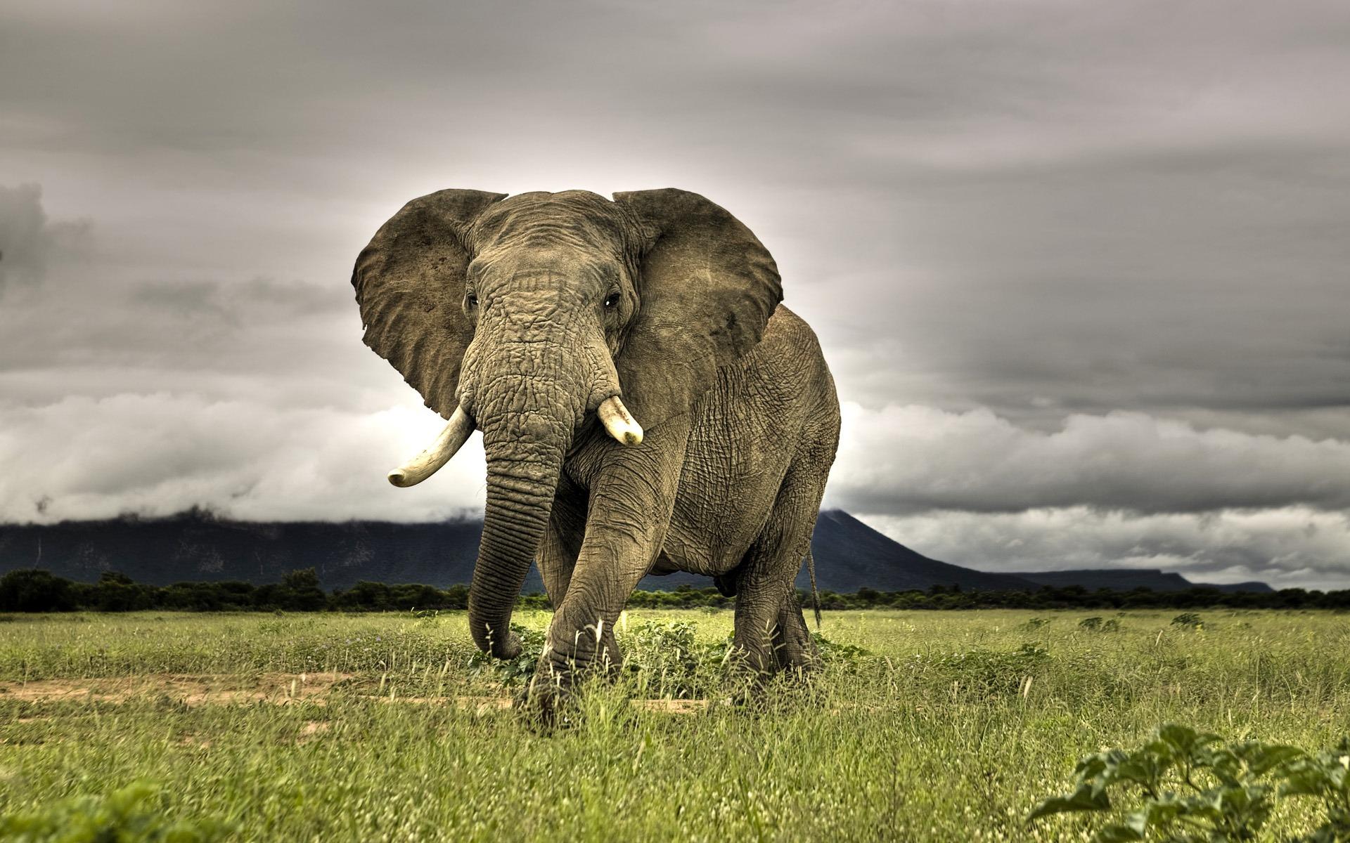 African Elephant Walking on Savanna, Marakele National Park, South Africa