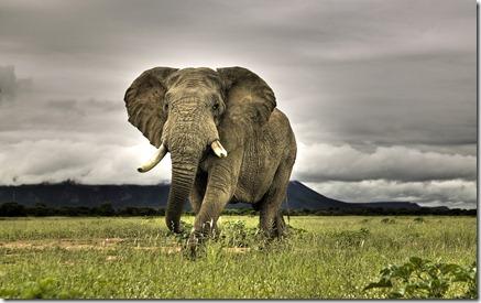Afrikanske elefant Walking on Savanna, Marakele National Park, Sydafrika